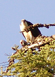 Mr. Osprey eating his lunch